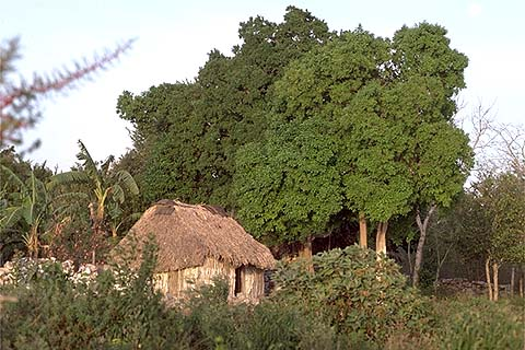 Typical house in the jungle, at Coba